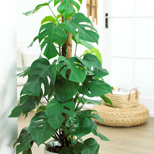 beautiful tall indoor house plants pictures interior design - Tall House Plants