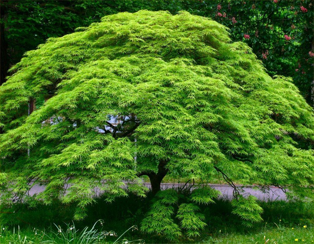 Large acer japanese maple tree emerald lace for Japanese maple tree