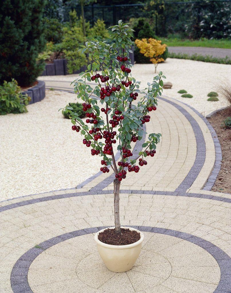 Patio Fruit Tree  Compact Black Cherry 'regina' Tree. Patio Furniture Outlet Orlando. Patio Designs With Pavers Photos. Home Garden And Patio Reviews. Patio Table And Chairs Aldi. Wicker Patio Furniture Brands. Rattan Wicker Garden Patio Hanging Swing Chair Seat. Best Place To Buy Outdoor Patio Furniture. Lowes Patio Furniture Ottoman