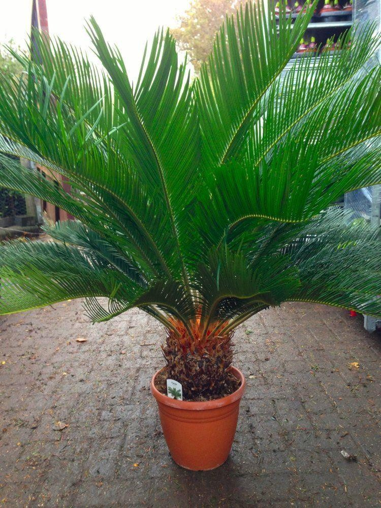 HUGE GIANT Cycad - Cycad revoluta - EXTRA LARGE Specimen King Sago Palm Cycas