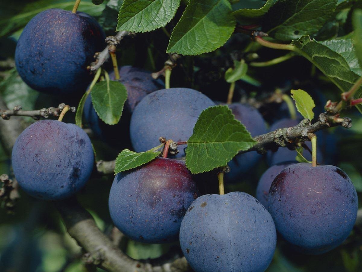 Plum Tree Multi Variety Fruit Tree Plum 5 Varieties