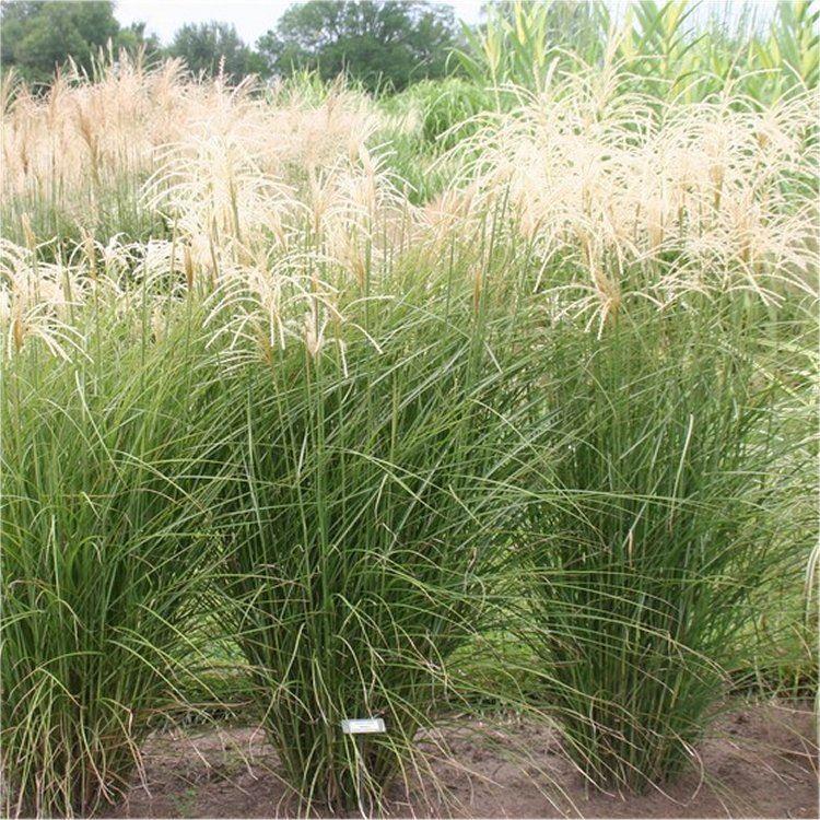 miscanthus sinensis graziella silver grass. Black Bedroom Furniture Sets. Home Design Ideas