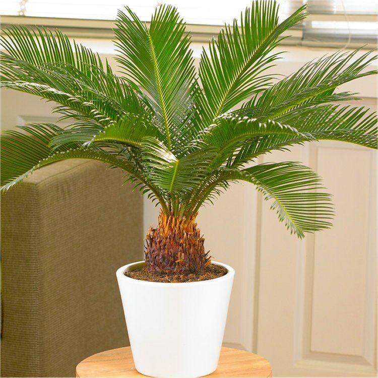 cycad cycas revoluta king sago palm tree. Black Bedroom Furniture Sets. Home Design Ideas