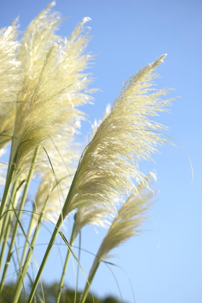Sunningdale silver pampas grass cortaderia selloana for Giant ornamental grass