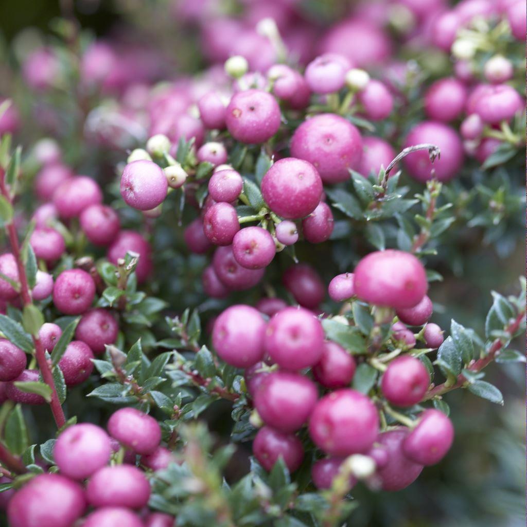 pernettya mucronata rosy pink evergreen prickly heath berry plants. Black Bedroom Furniture Sets. Home Design Ideas