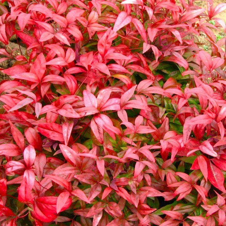 Nandina domestica firepower sacred or heavenly bamboo plant for Plante nandina