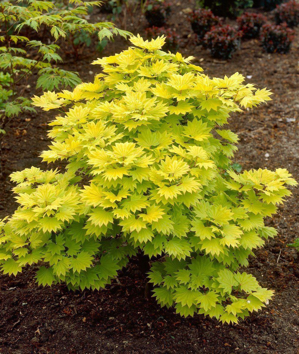 acer shirasawanum 39 aureum 39 golden leaf full moon japanese maple. Black Bedroom Furniture Sets. Home Design Ideas