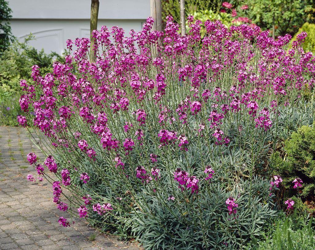 Erysimum Bowles Mauve Perennial Wallflower