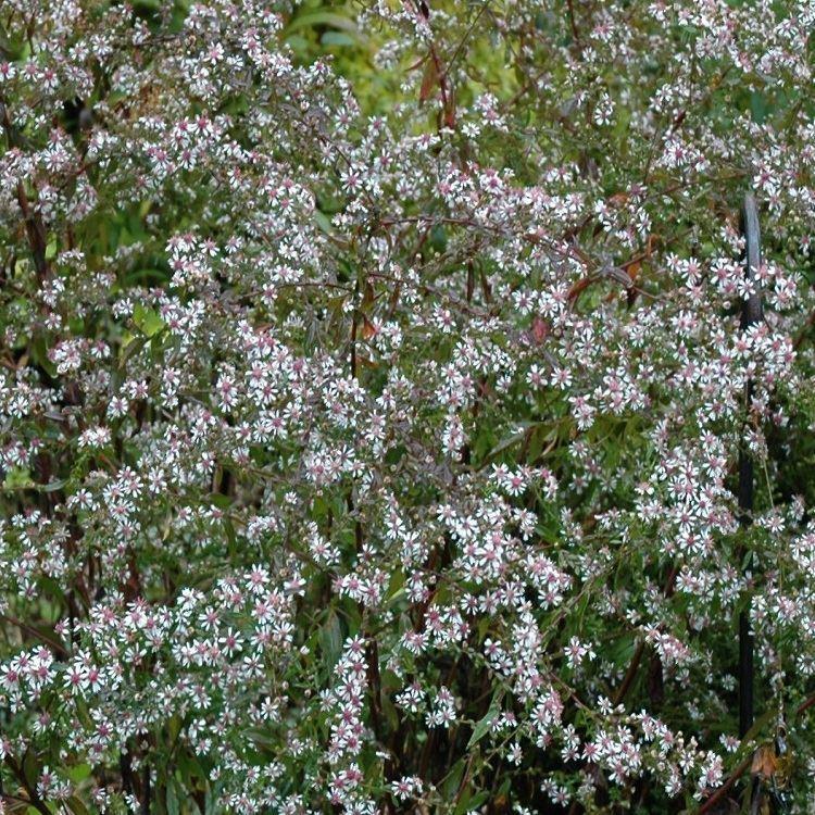 aster lateriflorus lady in black michaelmas daisy