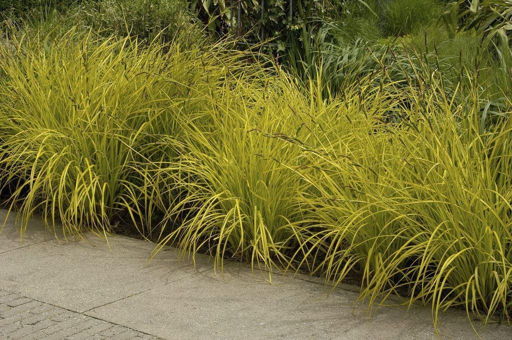 Carex elata aurea bowles golden grass for Ornamental grass yellow