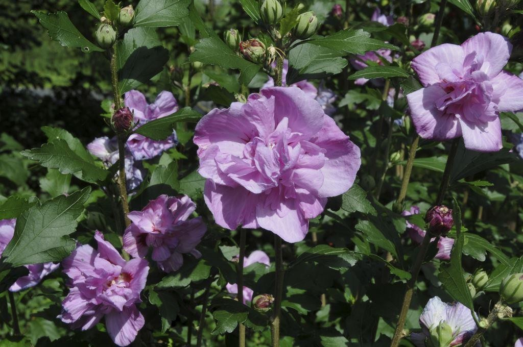 hibiscus syriacus ardens rose of sharon. Black Bedroom Furniture Sets. Home Design Ideas