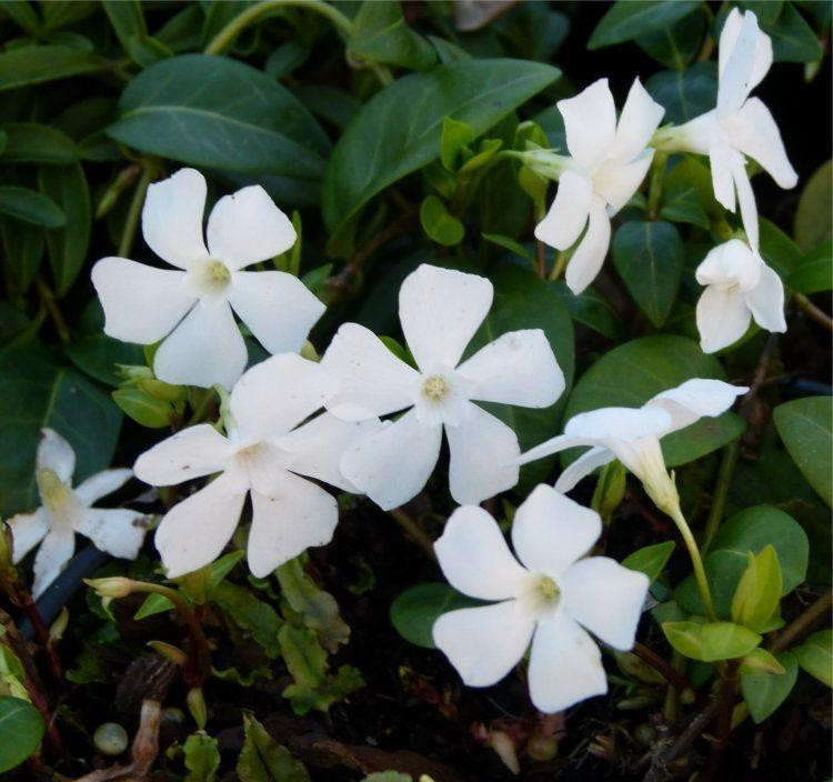 vinca minor alba white lesser periwinkle plant. Black Bedroom Furniture Sets. Home Design Ideas