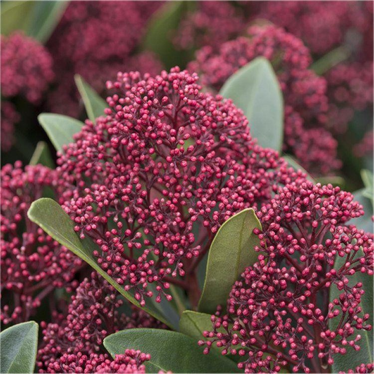 skimmia japonica rubella pack of three plants. Black Bedroom Furniture Sets. Home Design Ideas