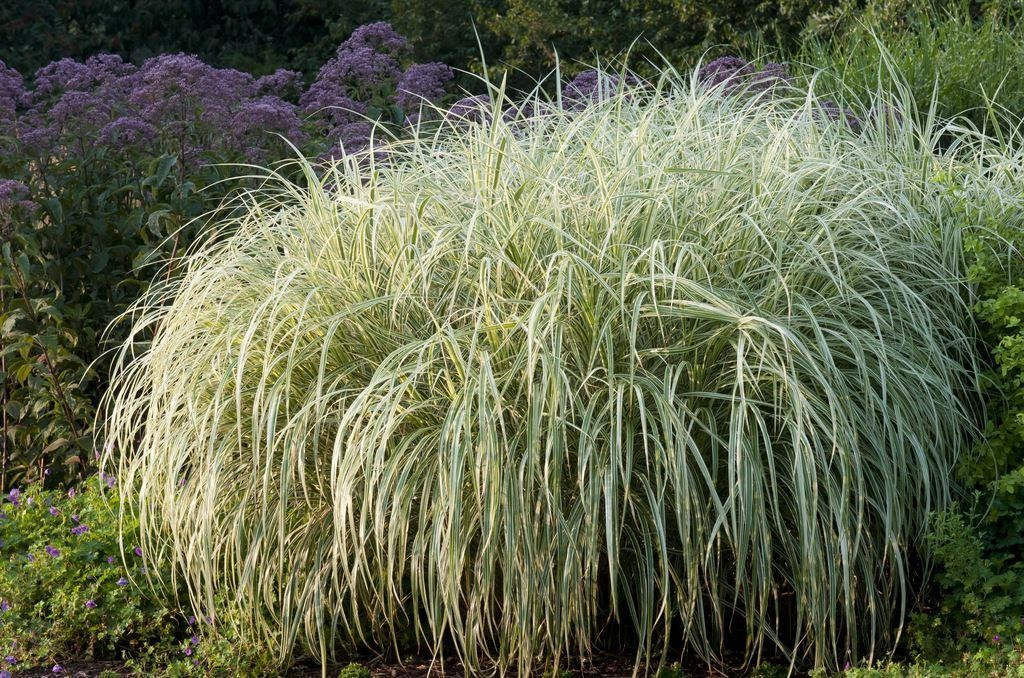 miscanthus sinensis variegatus japanese silver grass. Black Bedroom Furniture Sets. Home Design Ideas