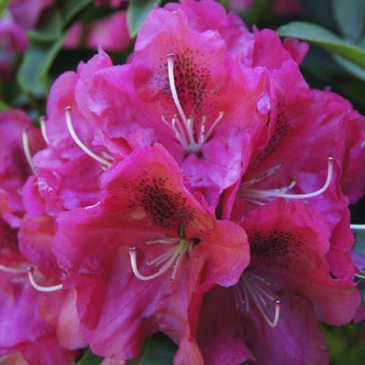 rhododendron nova zembla rhododendron hybrid. Black Bedroom Furniture Sets. Home Design Ideas