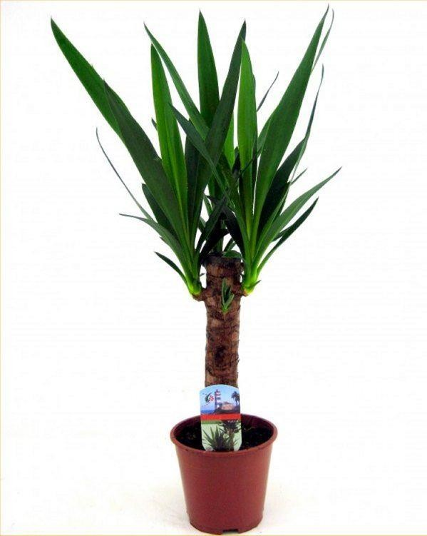 Yucca Tree - Perfect to Brighten up the Home
