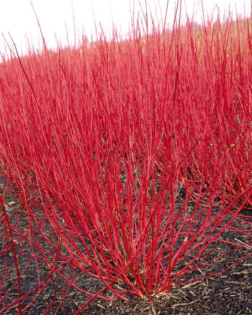 Cornus alba sibirica red barked dog wood - Cornus alba sibirica ...