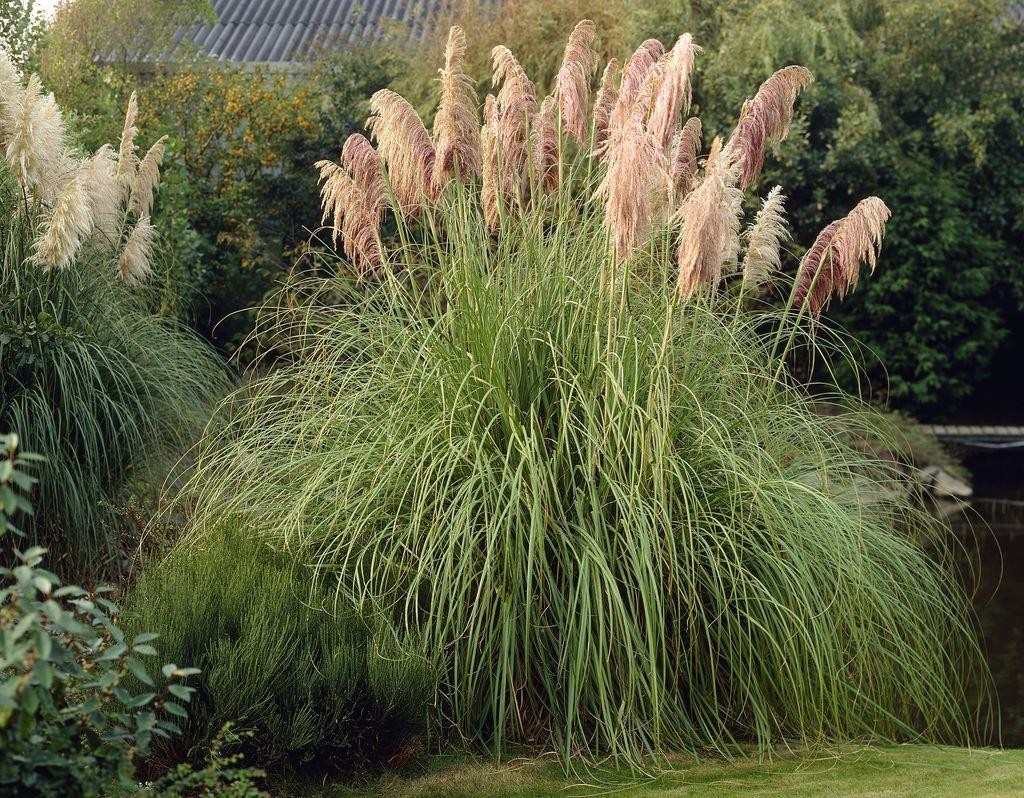 cortaderia selloana rosea pink pampas grass. Black Bedroom Furniture Sets. Home Design Ideas
