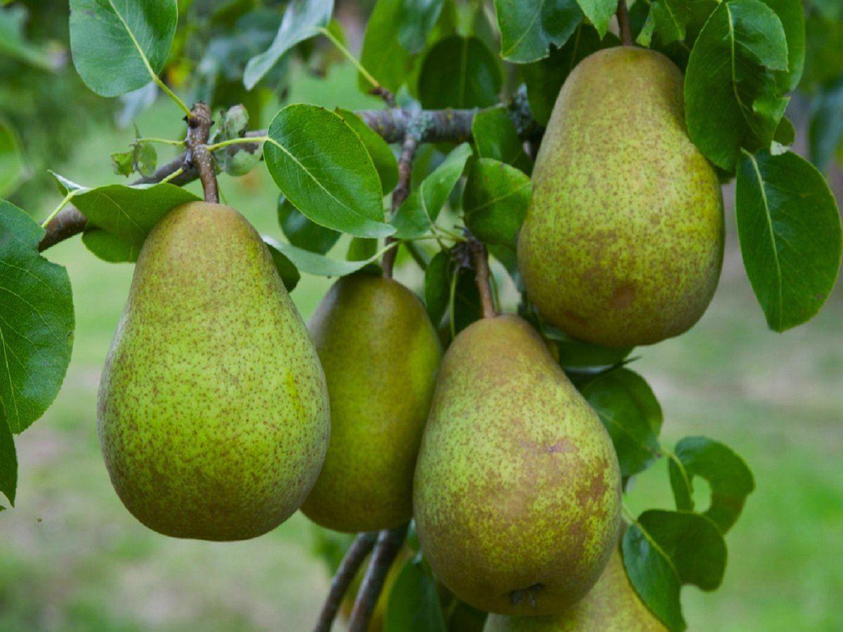 Pear tree multi variety fruit tree pear 5 varieties for Fruit trees