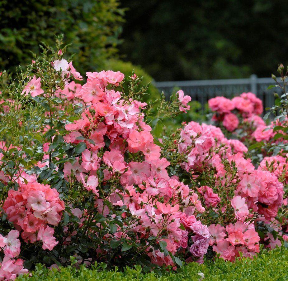 Rose Flower: Rose Flower Carpet Coral