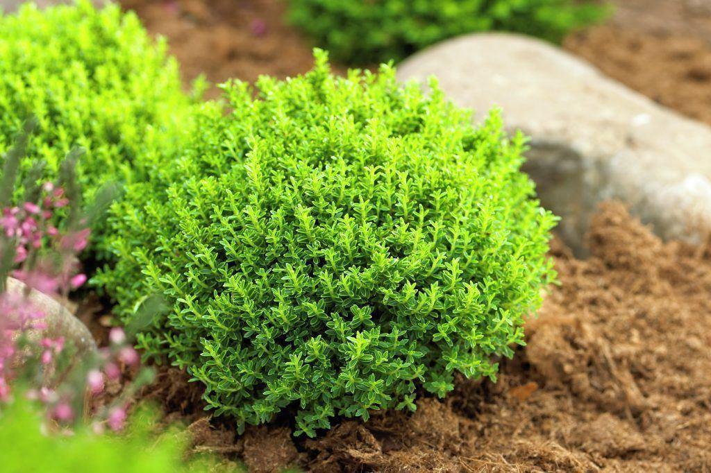 hebe emerald green globe pack of three plants. Black Bedroom Furniture Sets. Home Design Ideas