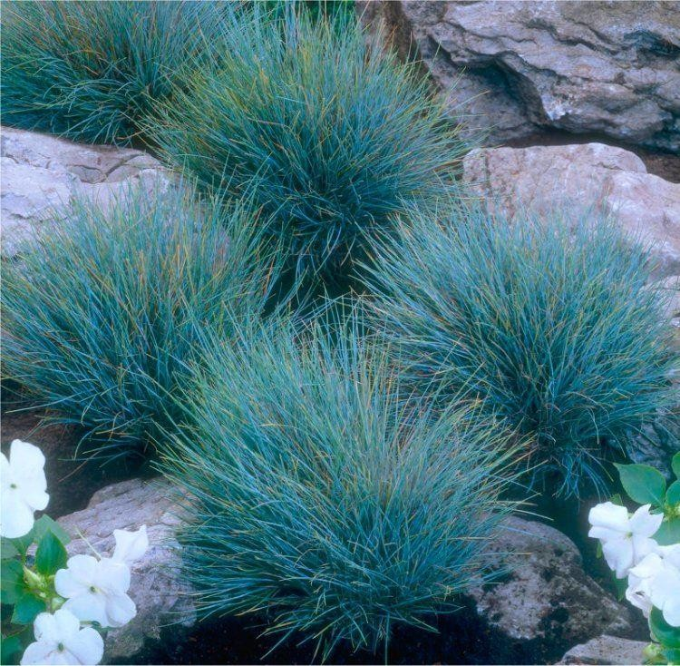 Festuca glauca elijah blue fescue pack of three for Blue ornamental grass plants