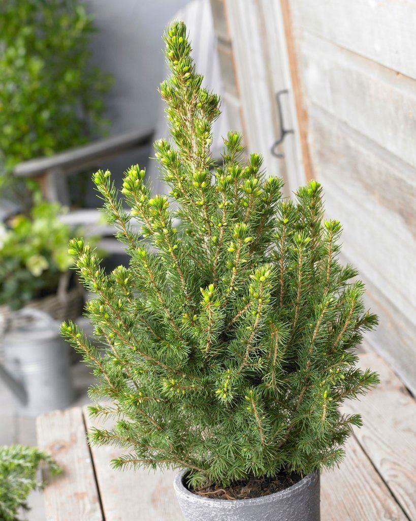glauca Conica - Dwarf alberta Spruce