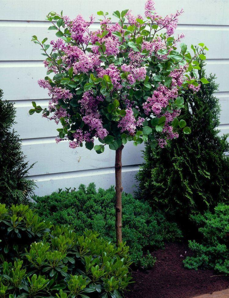 how to grow a lilac tree from a cutting