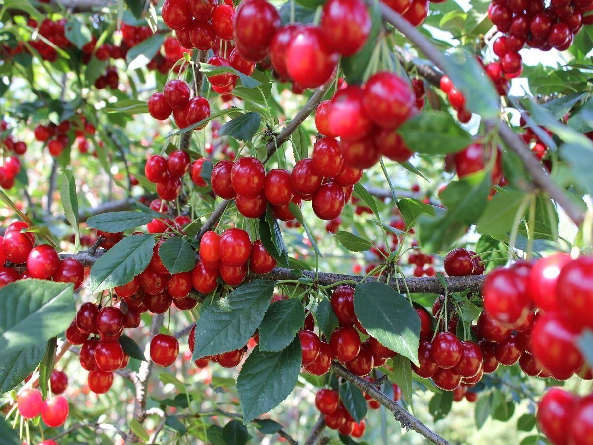 fruit cherry tree