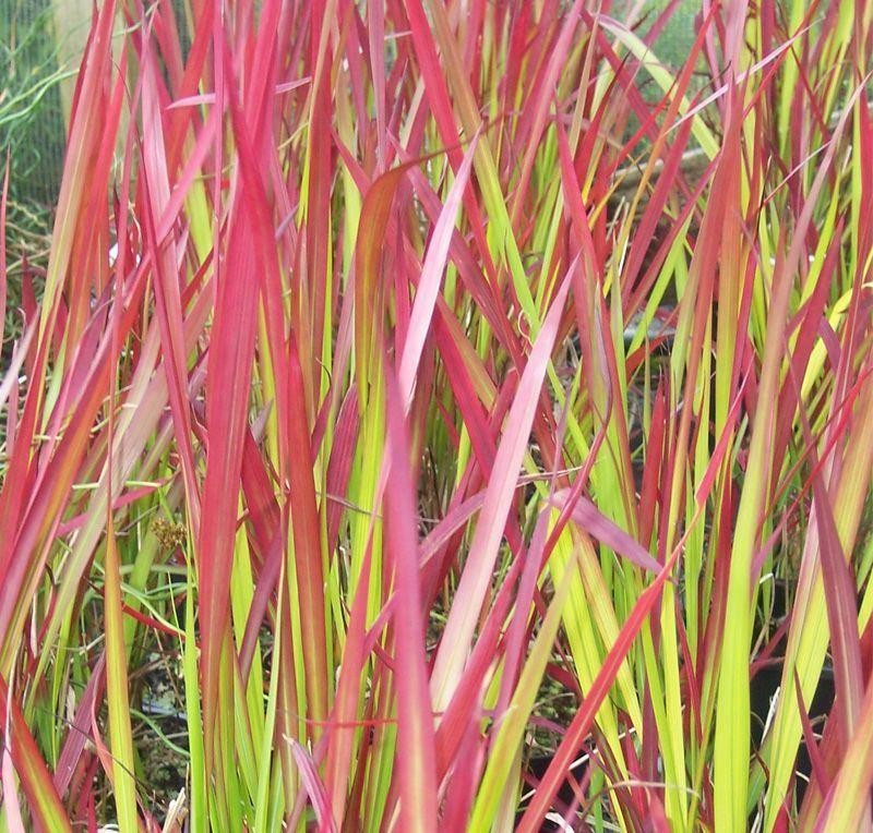 Imperata cylindrica rubra red baron japanese blood grass - Imperata cylindrica red baron ...