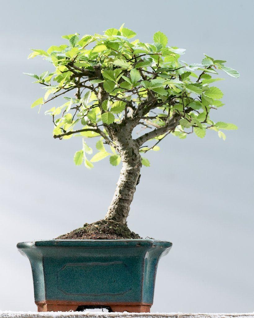 large chinese elm bonsai tree with glased dish and saucer