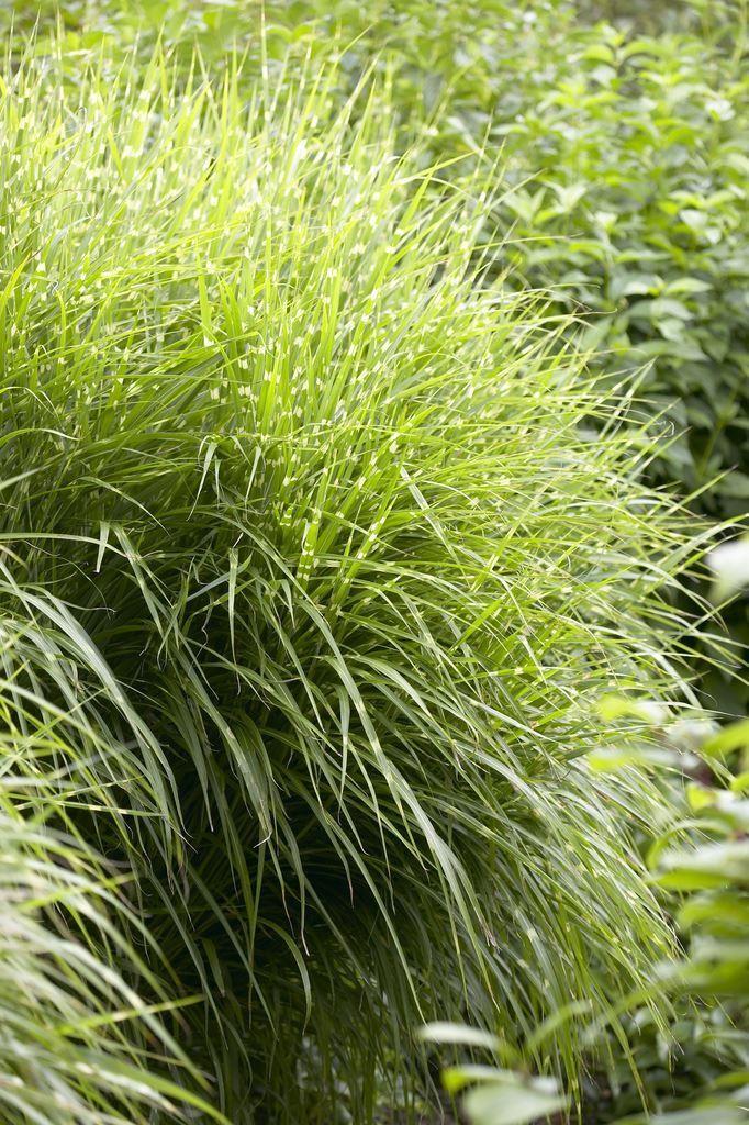 miscanthus sinensis zebrinus gold banded zebra grass large specimen. Black Bedroom Furniture Sets. Home Design Ideas