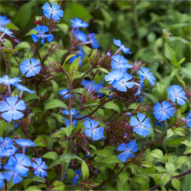 Hardy Cobalt Blue Plumbago Plants Pack Of Three