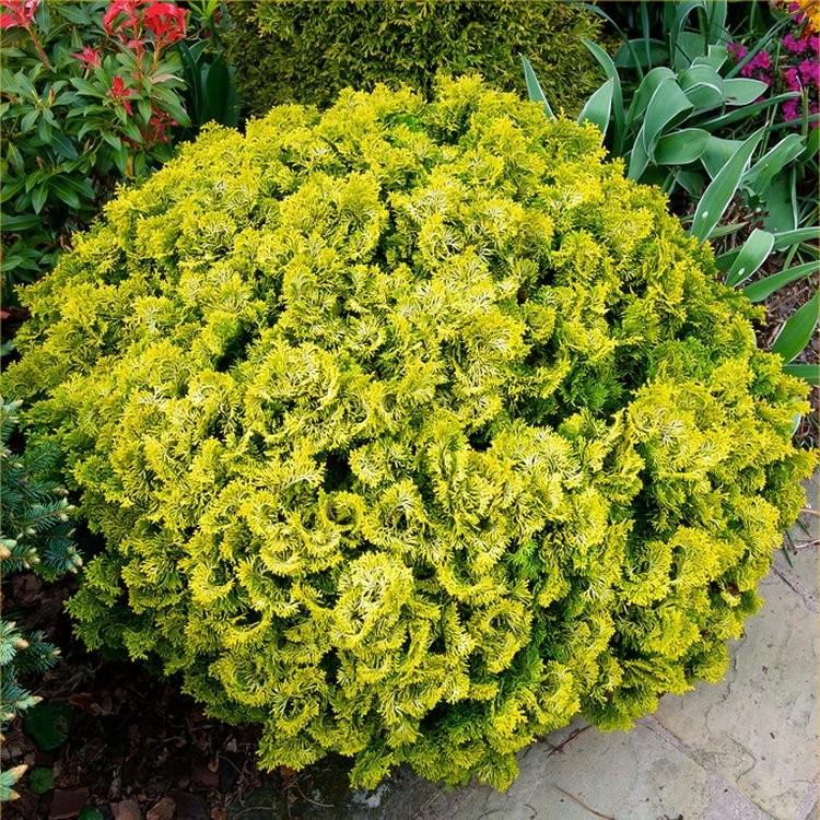 chamaecyparis obtusa nana gracilis aurea hinoke false cypress dwarf slow growing conifer. Black Bedroom Furniture Sets. Home Design Ideas
