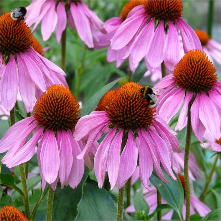 echinacea purpurea rubinstern purple cone flower pack. Black Bedroom Furniture Sets. Home Design Ideas