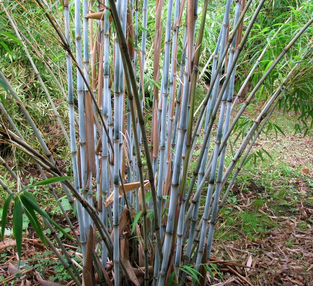 Fargesia papyrifera blue dragon blue stem clumping for Bamboo garden