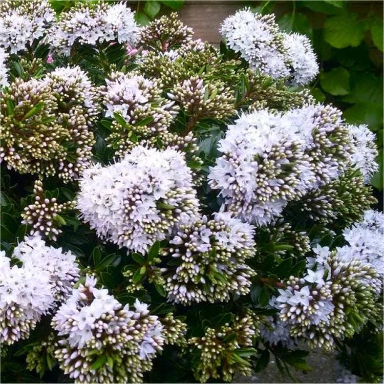 Evergreen hebe celina plant for Hebe pianta