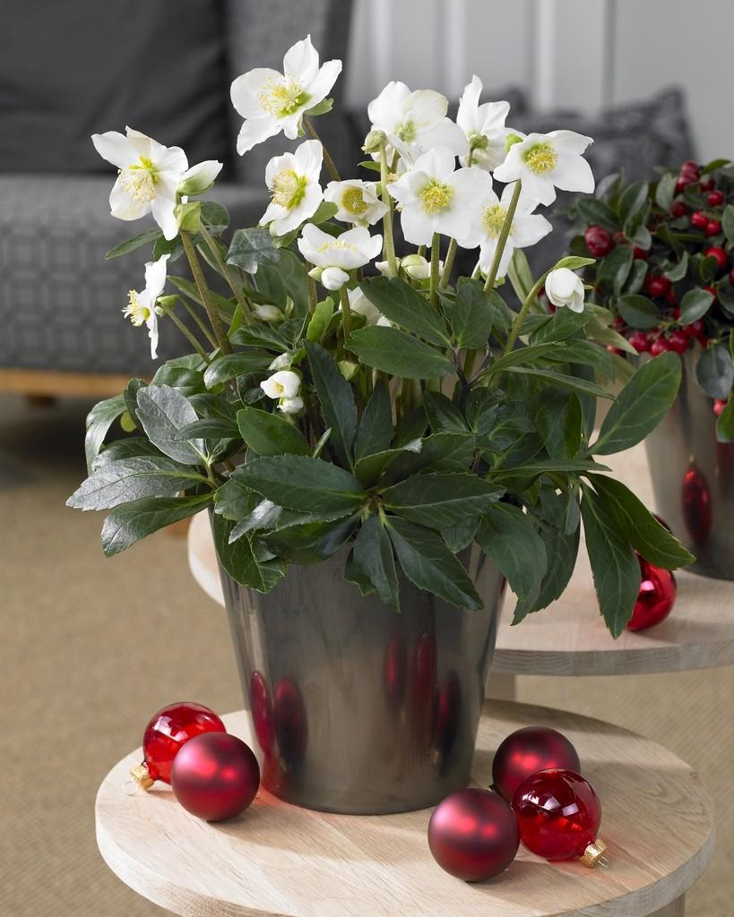 christmas rose houseplant