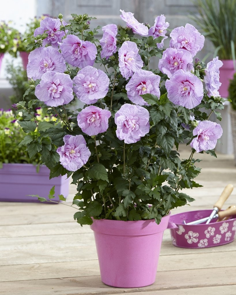 hibiscus syriacus lavender chiffon double flowered tree. Black Bedroom Furniture Sets. Home Design Ideas