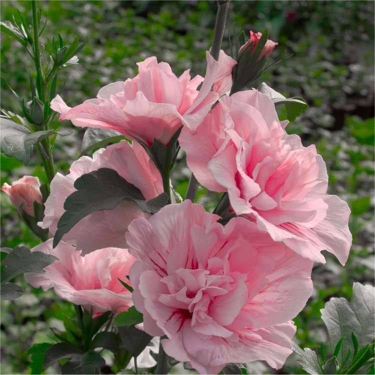 hibiscus syriacus pink chiffon double flowered tree. Black Bedroom Furniture Sets. Home Design Ideas