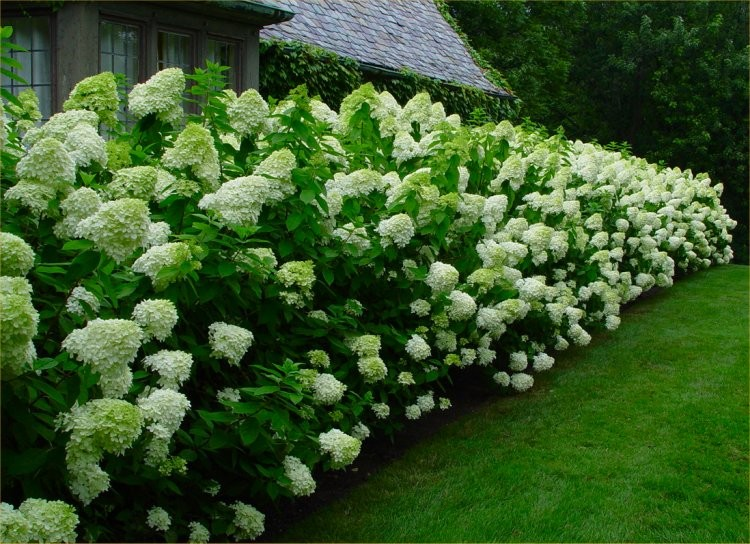 hydrangea paniculata limelight extra large flowering plant. Black Bedroom Furniture Sets. Home Design Ideas