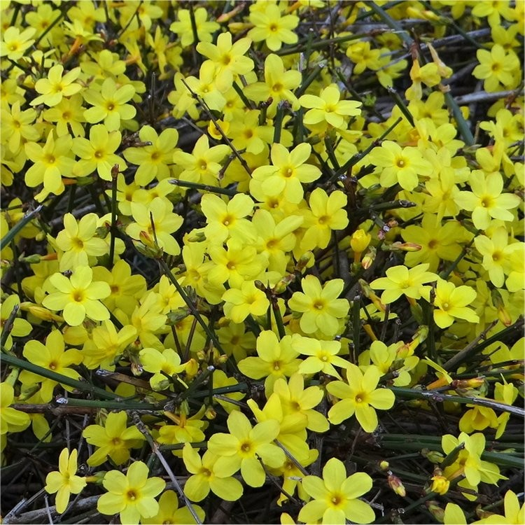 jasminum nudiflorum winter jasmin bright yellow flowering winter jasmine. Black Bedroom Furniture Sets. Home Design Ideas