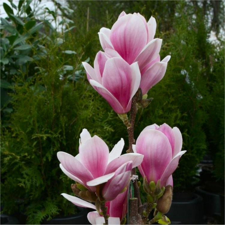 magnolia satisfaction large flowered tulip tree. Black Bedroom Furniture Sets. Home Design Ideas