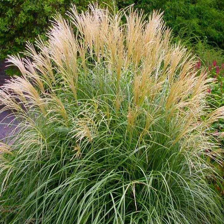 Miscanthus sinensis krater dwarf miscanthus for Dwarf perennial ornamental grasses