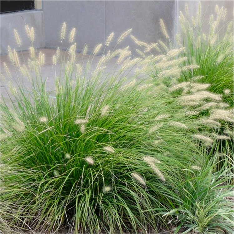 Special deal pennisetum alopecuroides 39 little bunny for Hardy tall ornamental grasses