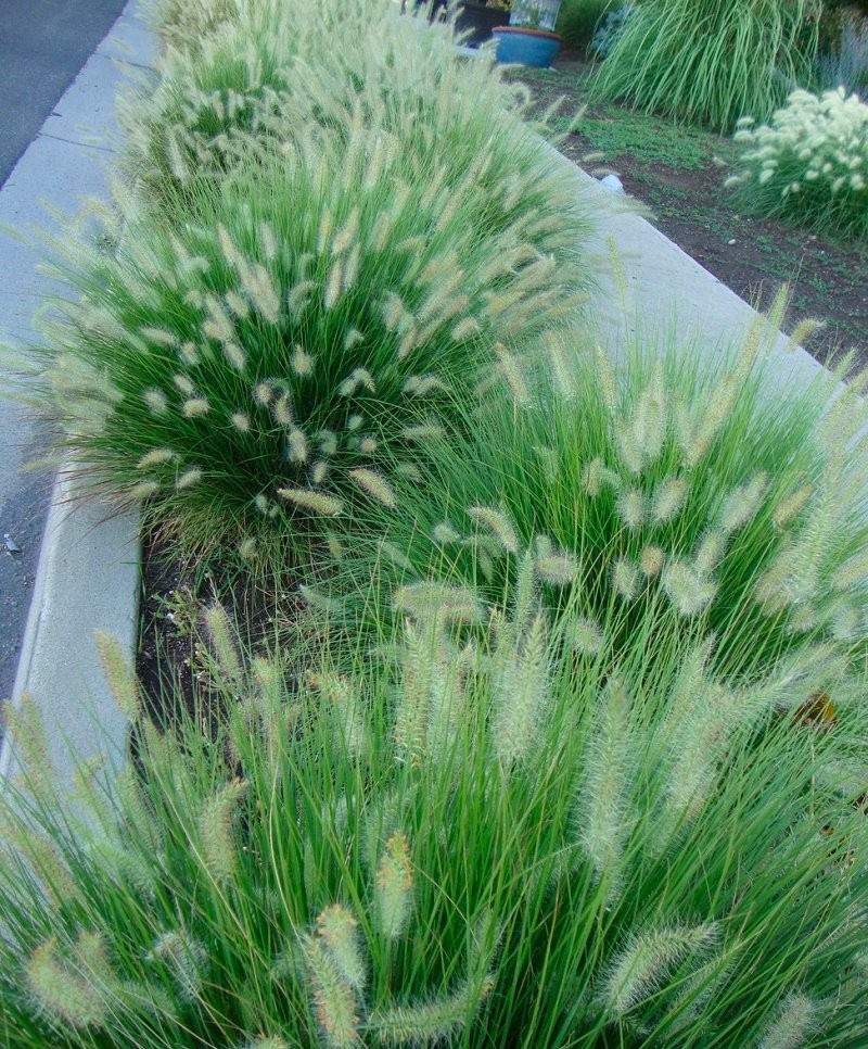 Special deal pennisetum alopecuroides 39 little bunny for Large garden grasses