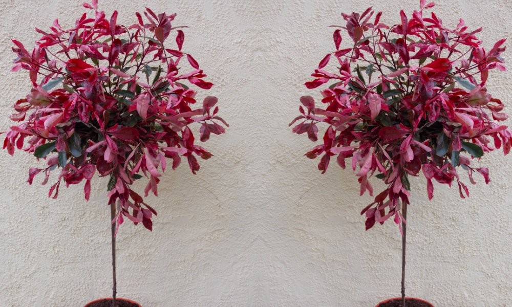 Pair of hardy evergreen photinia pink marble standard for Small hardy trees