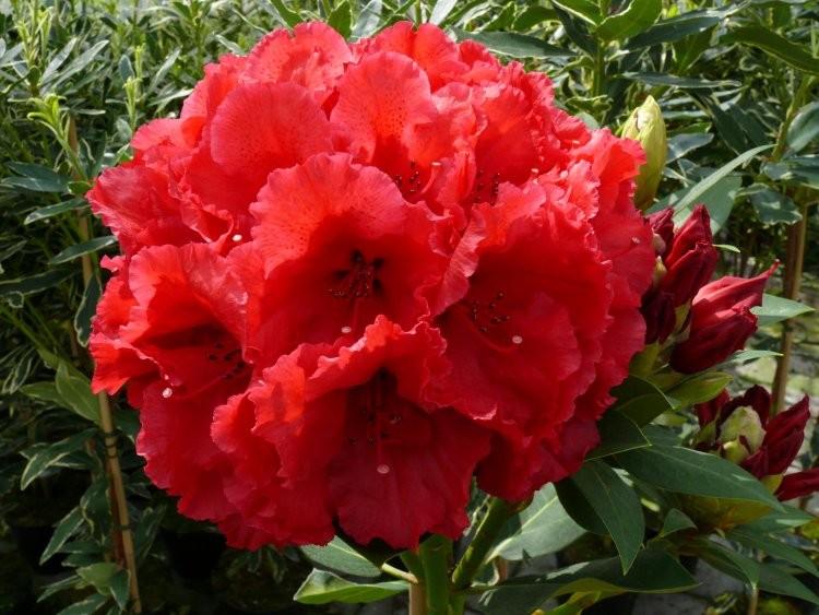 rhododendron extra large red jack specimen tree. Black Bedroom Furniture Sets. Home Design Ideas