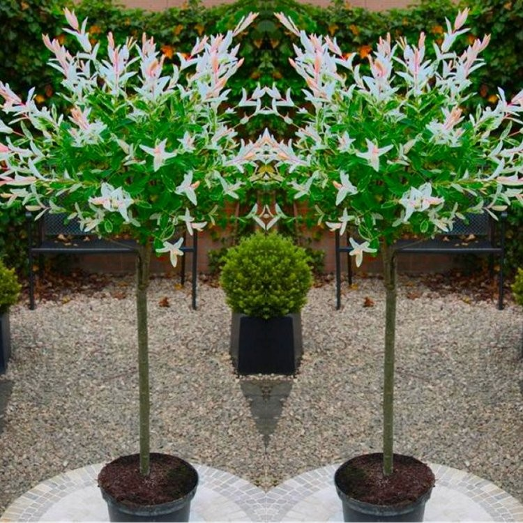 Fast Growing Decorative Trees