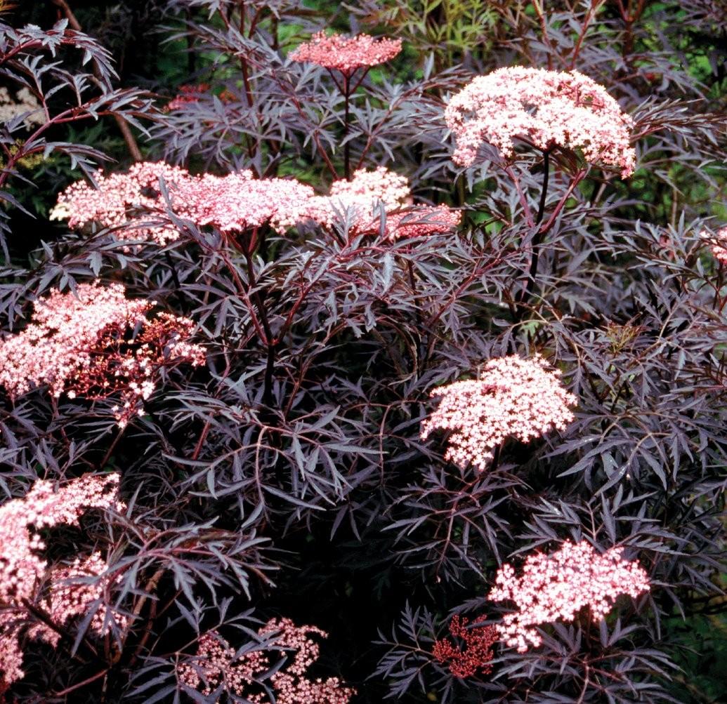 Indoor Plants Uk Sambucus Nigra Black Lace Black Elder Sambuca Plant